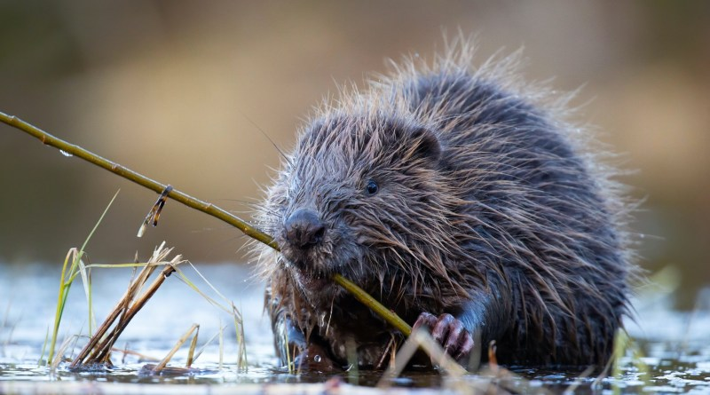 Friend or Foe: Our perception of beavers impacts the success of their reintroduction