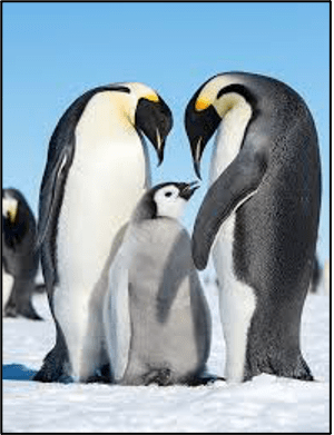 Penguins and Conservation: How penguins can help us conserve an entire ecosystem