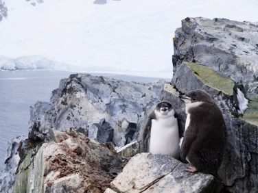 Chinstrap Penguins, Spigot Point, Antarctica