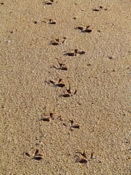 Footprints in the Sand, Barrow Island