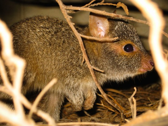 Spectacled Hare-Wallaby, Barrow Island