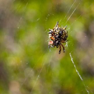 Spider, Sika Circuit Walk, Wellington National Park