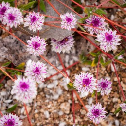 Wildflowers, Windjana Gorge National Park, Western Australia