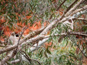 Birds in Dales Gorge, Karijini National Park, Western Australia