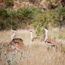 Birdlife at Mornington Sanctuary, Kimberleys, Western Australia