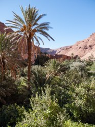 Date palms line the valleys in Todra Gorge, Morocco
