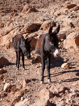 Donkeys are used for local transport by Berbers living in Todra Gorge, Morocco
