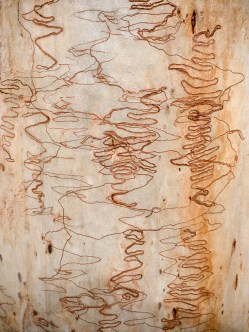Scribbly Gum, Nightcap National Park