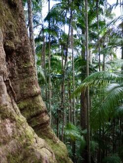 Subtropical Vegetation along the Minyon Loop Walking Track, Nightcap National Park