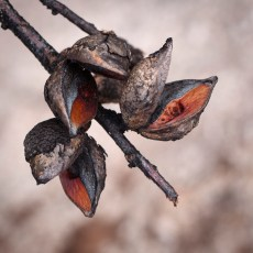 Hakea seeds exposed after fire, Mount Cooke, Monadnocks Conservation Park