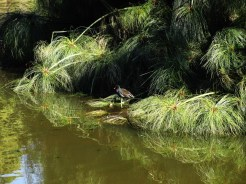 Figure 10: A Common Moorhen settles in the shallows of the main dam.