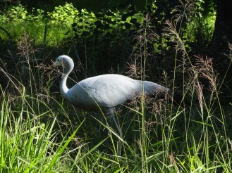 Figure 6: Austin Roberts Bird Sanctuary is known for its Blue Crane residents.