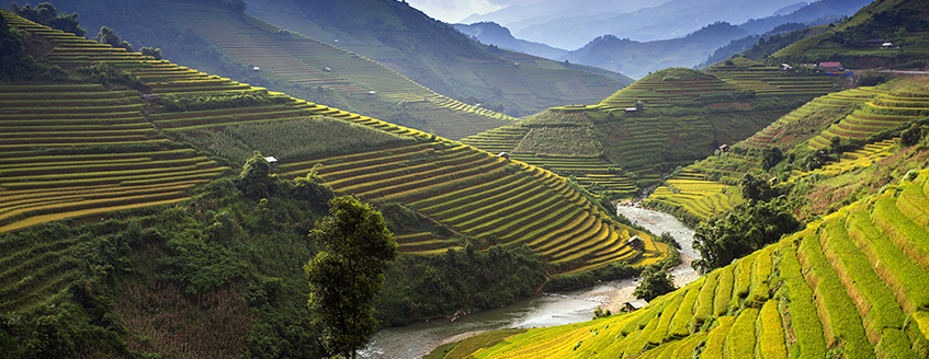 Landscape of Rice Farm in Vietnam
