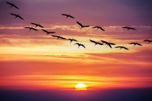 birds migrating at sunset