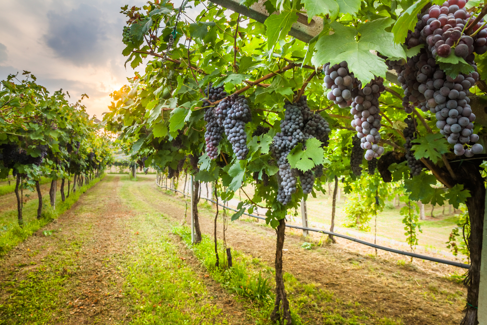 Wineries Trying to Adapt to Climate Change