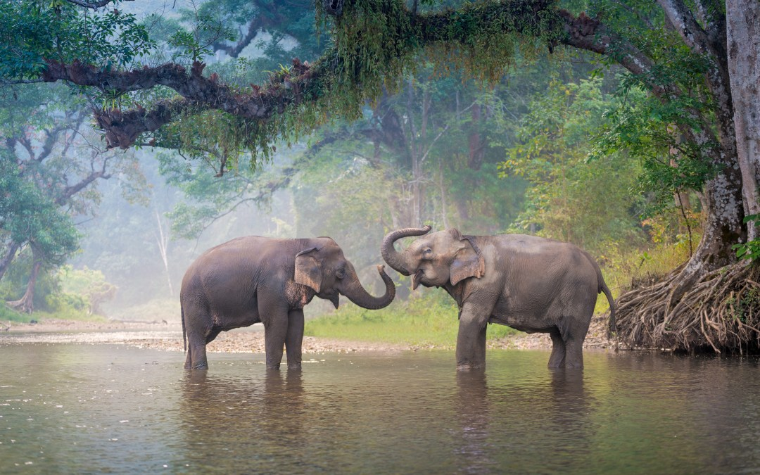 Asian Elephants Need a Different Standard for 'Endangered Species' Listing