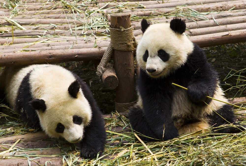 A Pair of Giant Pandas Had a Natural Mating During COVID-19 Quiet