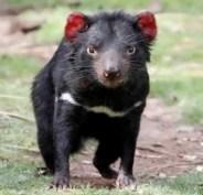 where-to-see-the-tasmanian-devil-bonorong-300x290
