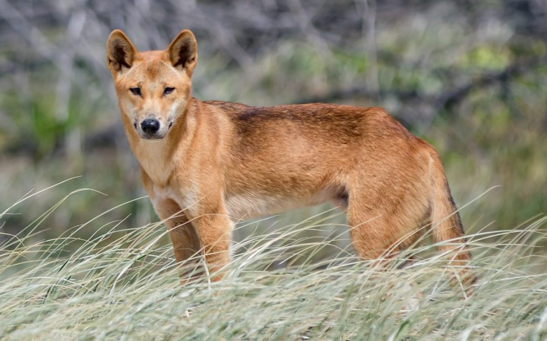 New environmental history blog posts: dingoes and emotions