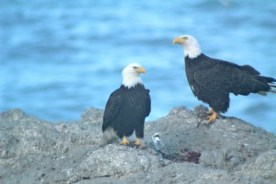Adult eagle pair on Flat Top roost after having their meal