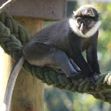 The White Throated Monkey – Facts