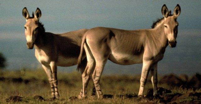 African-wild-ass-endangered-animals-in-Africa