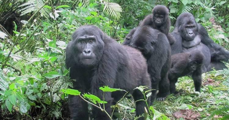 african-mountain-gorillas-endangered-animals-in-africa
