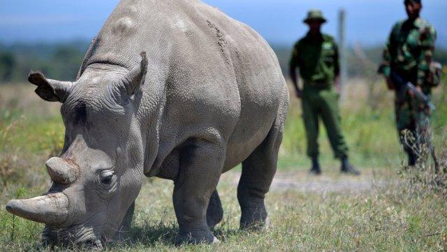 nothern-white-rhino-endangered-animals-in-africa