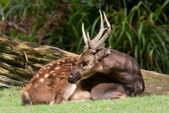 ATTACHMENT DETAILS philppine-deer-endangered-animals-in-the-philippine