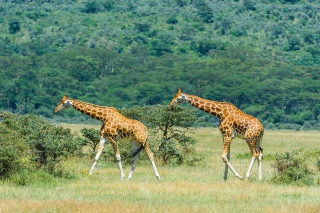 grevy's-zebra-endangered-animals-in-africa