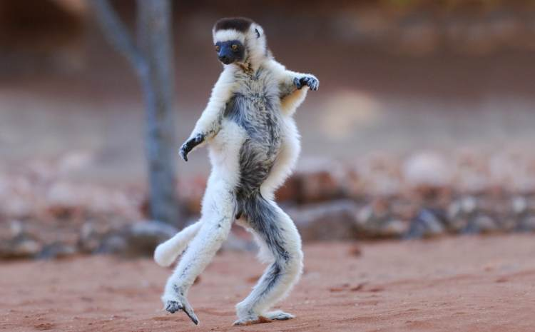 verreauxs-sifaka-endangered-animals-in-Africa