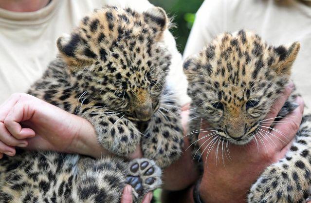 Amur Leopard | Top 10 Facts
