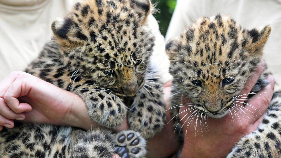 Top Facts about the Amur Leopard