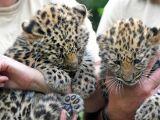 facts-about-the-amur-leopards