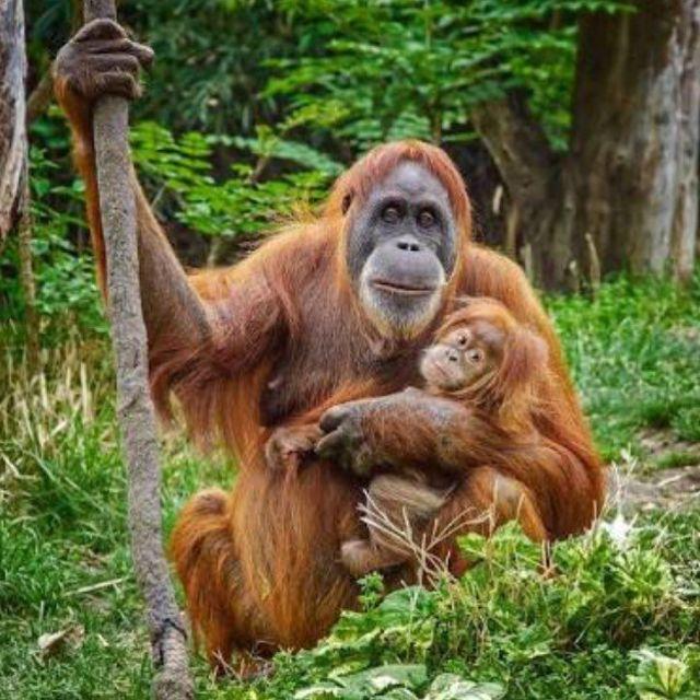 Sumatran Orangutan vs Bornean Orangutan