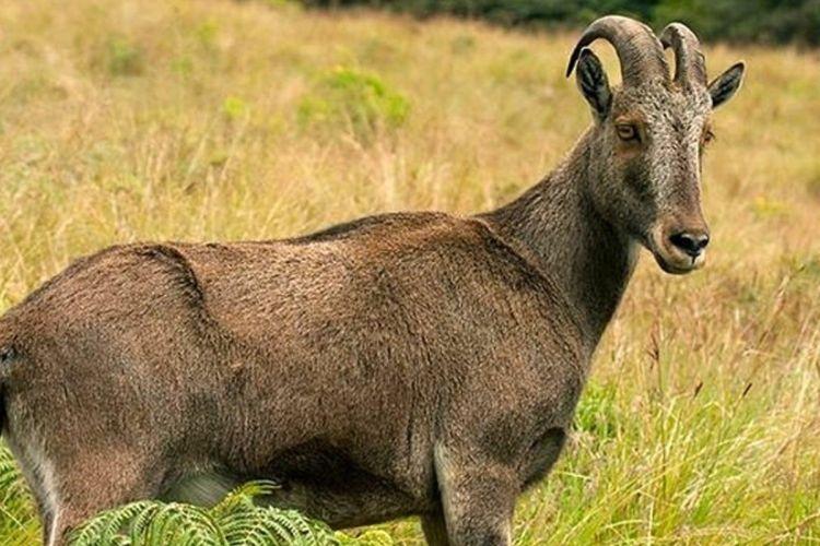 nilgiri-tahr-endangered-species-in-india