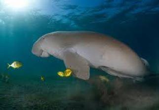 dugong-endangered-marine-animals