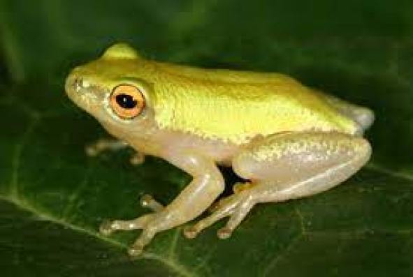 pickersgill's-reed-frog-endangered-animals-in-africa