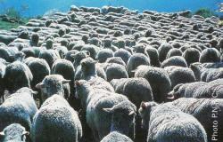 Camargue : troupeau de moutons mérinos