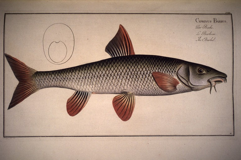 https://i0.wp.com/environnement.ecole.free.fr/images%202bg/dessins%20gravures%20poissons/Cyprinus%20barbus.%20Der%20Barbe.%20Le%20barbeau.%20The%20barbel.jpg