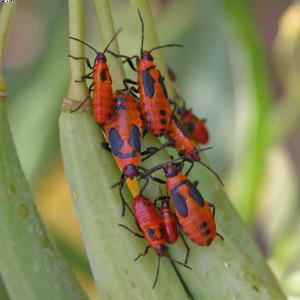 milk weed bugnymphs