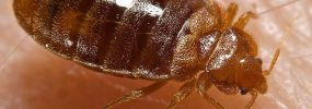 Bedbug Feeding: Photo Coutesy of CDC/ Harvard University, Dr. Gary Alpert; Dr. Harold Harlan; Richard Pollack. Photo Credit: Piotr Naskrecki