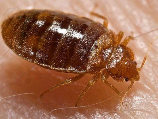Bedbug Feeding: Photo Coutesy of CDC/ Harvard University, Dr. Gary Alpert; Dr. Harold Harlan; Richard Pollack. Photo Credit: Piotr Naskrecki