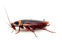 cockroach-2