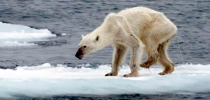 Το λιώσιμο των πάγων αποστεώνει τις πολικές αρκούδες - Ενυπόγραφα
