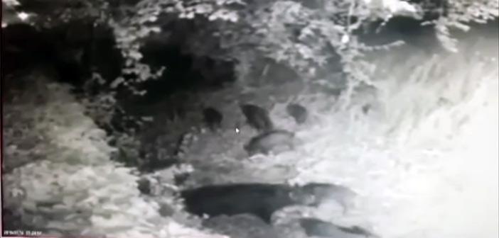 Οικογένεια από μικρά αγριογούρουνα εμφανίστηκε στην Εκάλη! – Video