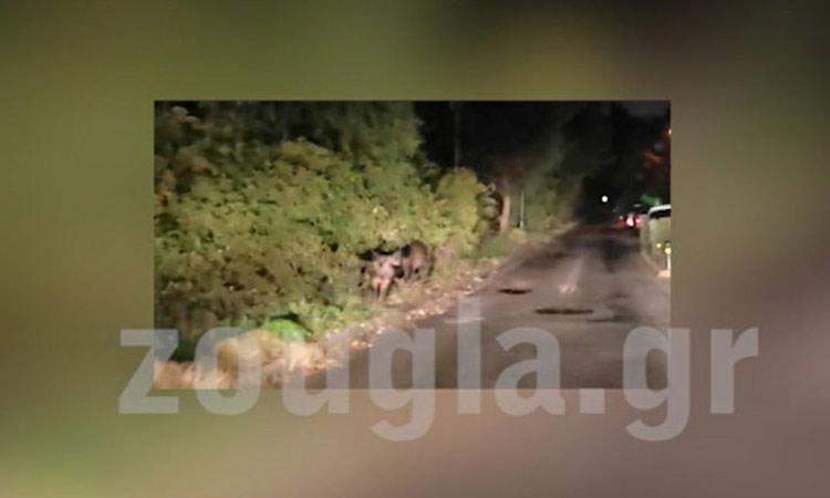 Αγριογούρουνα βόσκουν στο διάζωμα της οδού Ρόδων στην Εκάλη