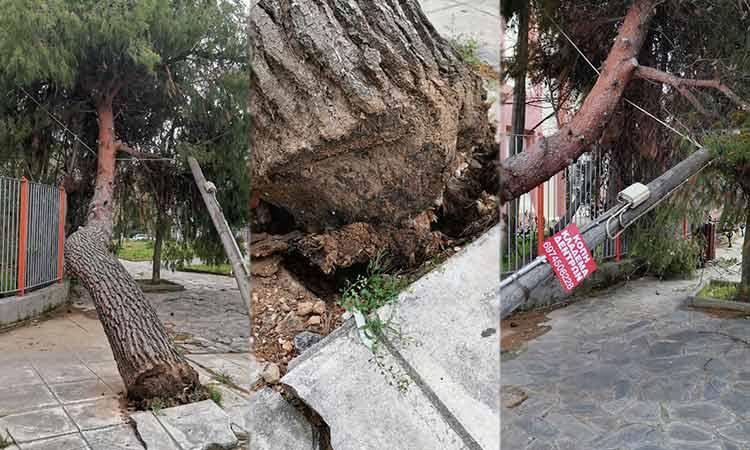 Ο άνεμος ξερίζωσε μεγάλο Πεύκο στα Βριλήσσια