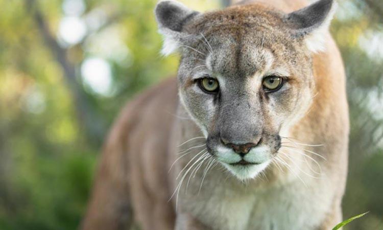 ΗΠΑ: Αστυνομικός πυροβόλησε λιοντάρι για να σώσει τετραμελή οικογένεια
