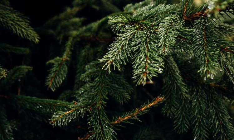 Μαζί με τα πράσινα-κηπαία απορρίμματα τα φυσικά χριστουγεννιάτικα δένδρα στον Δήμο Παπάγου-Χολαργού